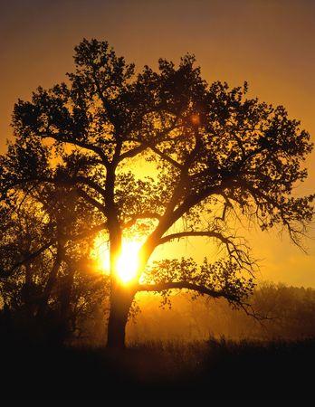 shining through: Il sole di mattina che lucida attraverso un albero del cottonwood.