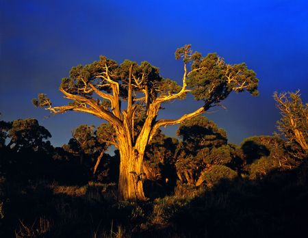 A large tree photographed at sunset. Stock Photo