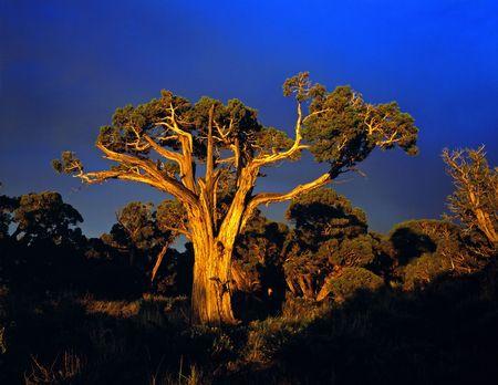A large tree photographed at sunset. Reklamní fotografie
