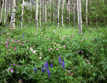 Wild flowers growing in an aspen forest.