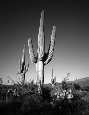 Saguaro cacti in Saguaro Cactus National Monument, Arizona. Stock Photo - 814691
