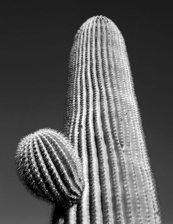 A Saguaro Cactus in Saguaro Cactus National Monument, Arizona. Stock Photo