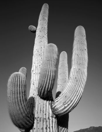 A Saguaro Cactus in Saguaro Cactus National Monument, Arizona. Stock Photo - 814694