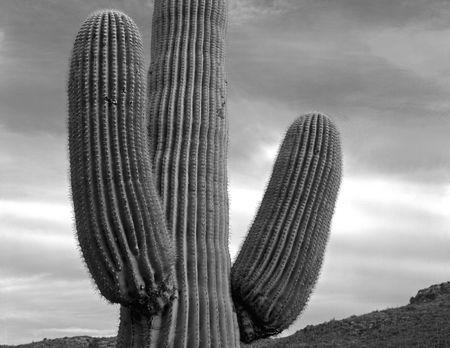 A Saguaro Cactus in Saguaro Cactus National Monument, Arizona. Stock Photo - 814733