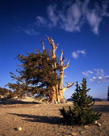 inyo national forest: J�venes y viejos �rboles de pino Bristlecone situado en el Patriarca Grove secci�n de la Inyo National Forest, California.  Foto de archivo