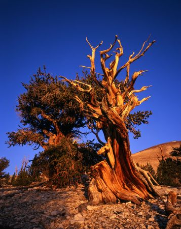 orange grove: Bristlecone Pine trees located in the Patriarch Grove section of the Inyo National Forest, California.
