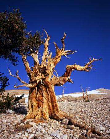 inyo national forest: Un �rbol del pino de bristlecone situado en la secci�n de la arboleda del patriarca del bosque nacional de Inyo, California. Foto de archivo