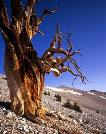 A Bristlecone Pine tree located in the Patriarch Grove of the Inyo National Forest, California.