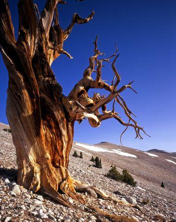 inyo national forest: Un �rbol de pino Bristlecone situado en el Grove Patriarca de la Inyo National Forest, California.