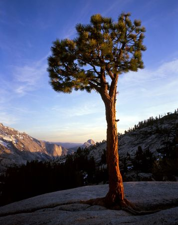 A pine tree growing at Olmsted Point in Yosemite National Park, California. Stock Photo