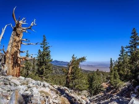 A bristlecone pine grows out of the rock on Wheeler Peak high above the Nevada desert, Great Basin National Park, Nevada, USA