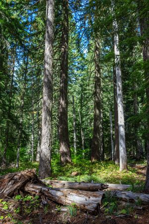 Light filters down through the trees in the Willamette National Forest, Oregon, USA