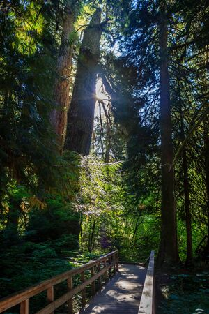 Light shining down through the canopy in the Grove of the Patriarchs, Mt Rainier National Park, Washington, USA
