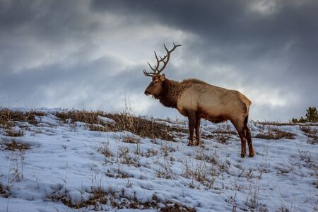 A bull elk raised his head for a moment in Yellowstone National Park Фото со стока
