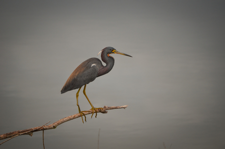 Tricolored Heron in Sumter County, Florida
