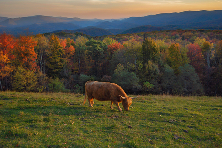 Bull in the Mountains of Virginia