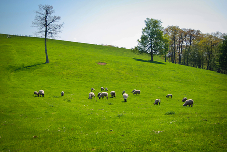 Sheep Grazing on a Hillside in Highland County, Virginia Stock Photo