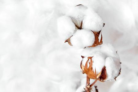 gałąź białych kwiatów bawełny