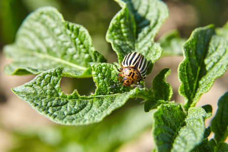 Leptinotarsa decemlineata. Adult striped Colorado beetle eating young green potato leaves. Invasion of pests on farmland. Parasites destroy a crop in the field.