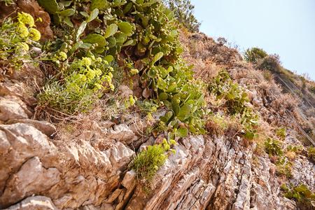 Green and wild cactus growing on the rocks on a sunny day, the island of St. Nicholas off the coast of Budva, Budva Riviera, Montenegro