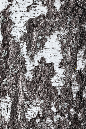 birch tree bark details. closeup. background or texture