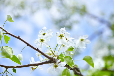 White flowers on blossoming pear tree. Spring