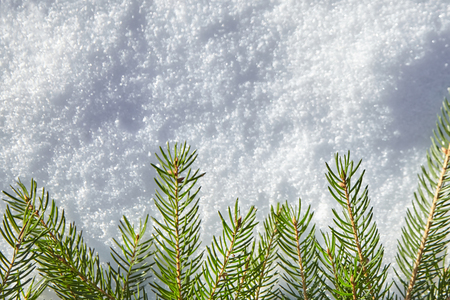 A branch of spruce with green needles lying on the white snow. Winter background