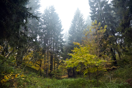 Autumn forest, coniferous and deciduous trees and shrubs on the slope of the ravine, nature in october foggy morning