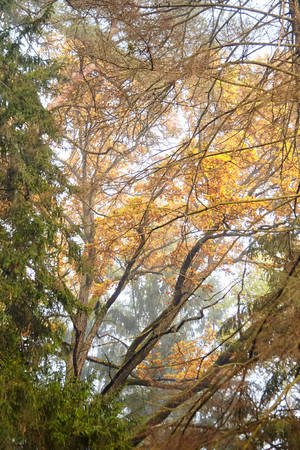 Branches of oak with yellow foliage in the autumn park or forest, nature in october foggy morning