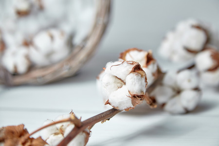 A branch of soft cotton flowers is lying on a white wooden table 스톡 콘텐츠