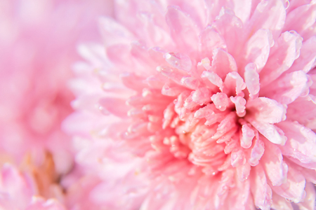 pink chrysanthemum flower with dew drops on delicate petals
