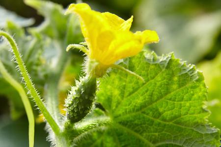 Cucumber ovary, yellow gherkin flower farm, growing vegetables Banco de Imagens