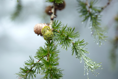 Wet branches of a coniferous tree with dew on green needles in a forest in the fog. Flora of the Pyrenees. La Rhune mountain 스톡 콘텐츠