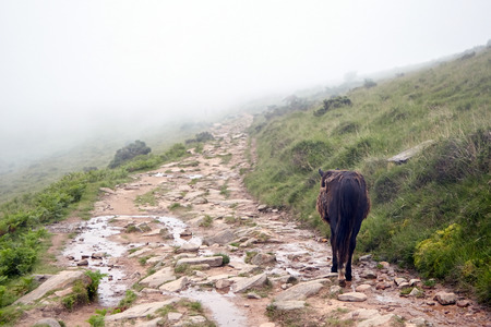 Wild brown horse (pottok) walking on La Rhune mountain hiking trail, breed native to the Pyrenees of the Basque Country (FranceSpain)