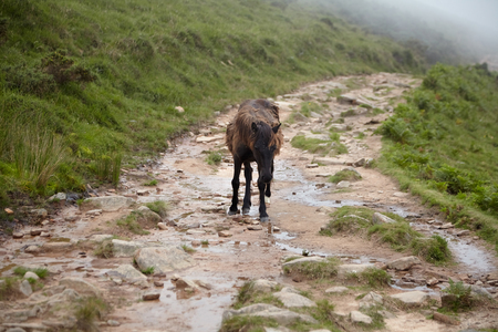 La Rhune mountain: Wild brown horse (pottok) walking on the hiking trail, breed native to the Pyrenees of the Basque Country (FranceSpain)