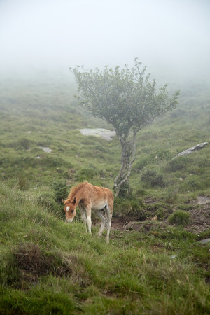 Foal grazing on a slope in the cloud veil.  Young horse eating green grass. La Rhune mountain, French Basque Country, France Stock Photo