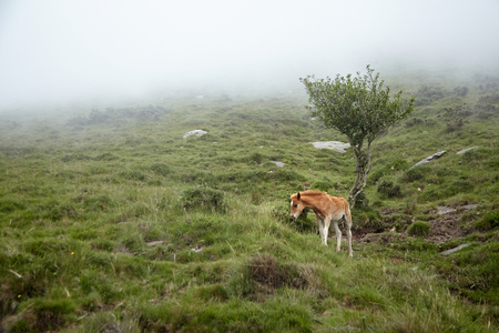 La Rhune, France: Foal grazing on a hillside in the fog.  Young horse eating green fresh grass in a mountain pasture Stock Photo - 123902861