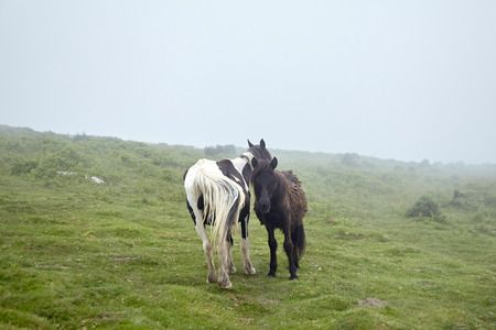 Wild horses grazing on La Rhune mountain in the Basque Country, France