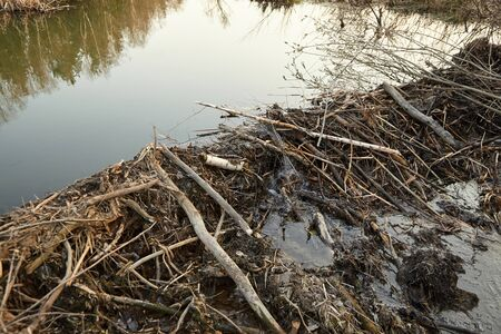 Beaver dam from branches, logs and mud. Beaver impoundment on forest river