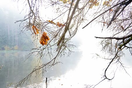 Autumn nature. Yellow oak tree leaf on dry spruce branches. Foggy morning