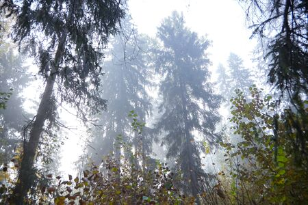 Autumn foggy forest. Trunks and spruce tree crowns. Morning nature in a fog Reklamní fotografie