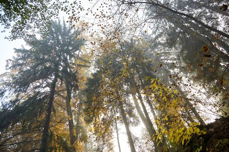 Autumn foggy forest. Trunks and tree crowns. Morning nature in a fog. Branch of trees. Yellow foliage