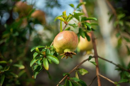 Unripe pomegranate fruit hanging on a branch of a tree with green leaves. Growing pomegranate