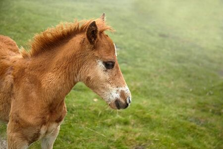 A foal with a white spot on his forehead walks in the pasture at a foggy summer day, closeup Banque d'images