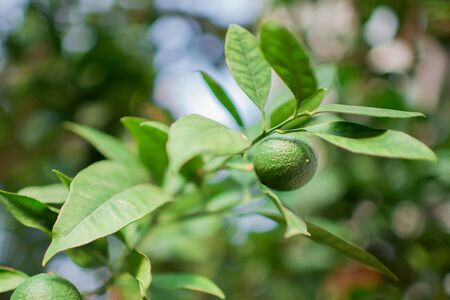 Unripe tangerine fruits hanging on a branch of citrus tree with green leaves. Growing tangerines