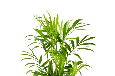Houseplant, green leaves of indoor palm, closeup, isolated on white background. Chamaedorea, Parlor palm plant