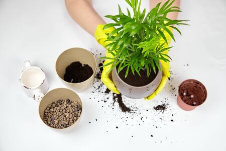 Transplanting a houseplant (indoor palm) into a larger flower pot. Chamaedorea elegans on white background. Parlor palm plant, yellow gloves, soil, expanded clay Stock fotó