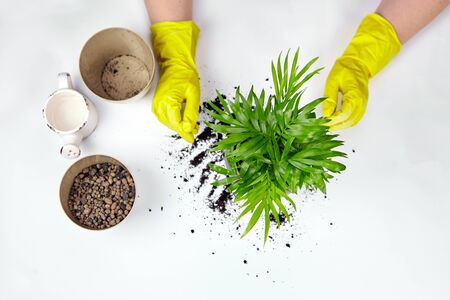 Transplanting a houseplant into a larger flower pot, top view. Chamaedorea elegans on white background. Parlor palm plant, yellow gloves, soil