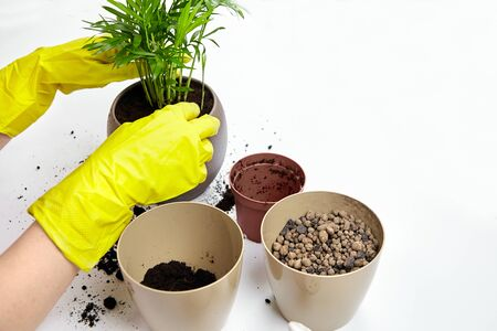 Transplanting a houseplant (indoor palm) into a larger flower pot. Chamaedorea elegans on white background. Parlor palm plant, yellow gloves, soil, expanded clay Standard-Bild