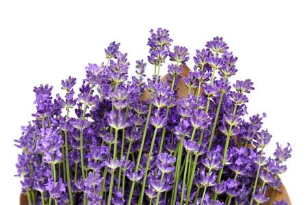 Beautiful purple lavender isolated on white background